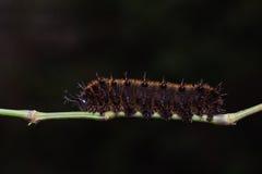 Orange Oakleaf caterpillar Stock Photos