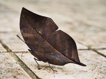 Orange oakleaf butterfly royalty free stock images