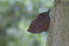 Orange oakleaf mimetic butterfly. Orange oakleaf, Indian oakleaf, dead leaf Stock Photos