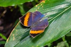 Orange oakleaf Kallima inachus butterfly Royalty Free Stock Photos