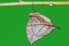 Orange oakleaf Kallima inachus butterfly Stock Photography