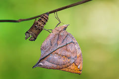 Orange oakleaf Kallima inachus butterfly Royalty Free Stock Photo
