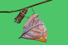 Orange oakleaf Kallima inachus butterfly. Close up of new born Orange oakleaf or Dead leaf Kallima inachus butterfly after its emergence from its pupa, isolate Royalty Free Stock Images