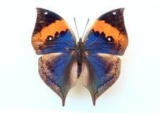 Orange Oakleaf. (Kallima inachus) specimen isolated Stock Photography
