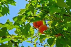 Orange Obstbaum Stockfotos