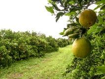 Orange Obstgarten lizenzfreie stockfotografie