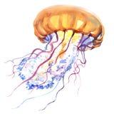 Orange Ocean Water Jellyfish, medusa, , sea life, watercolor illustration. Orange Ocean Water Jellyfish or medusa , sea life, watercolor illustration on white Royalty Free Stock Image