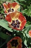 Orange och gula tulpan för persika, i blom royaltyfri foto