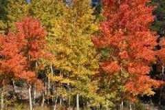 Orange och guld- aspar med vintergröna träd Arkivbild