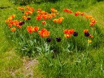 Orange och mörka purpurfärgade tulpan Fotografering för Bildbyråer