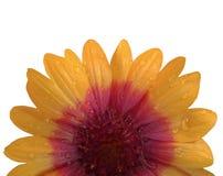 Orange och röd blomma efter regnet Vit bakgrund med den snabba banan Closeup med inga skuggor Arkivfoton
