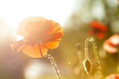 Orange och röd vallmo på suddig bakgrund Royaltyfria Foton