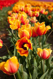 Orange och röda tulpan i blom arkivfoto