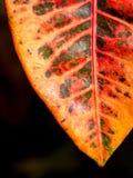 Orange och rött blad Royaltyfri Foto
