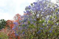 Orange och violetta blomningträd - jakarandaträd Royaltyfria Bilder
