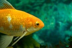 Orange och vit guldfisk i vattnet - nära övre fotografering för bildbyråer