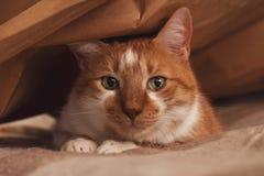 Orange och vit katt som döljer under den bruna pappers- påsen arkivfoto