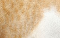 Orange och vit päls av katthår arkivfoto