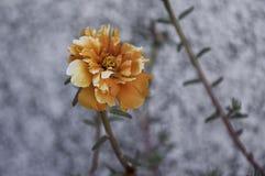 Orange och vita Portulaca Arkivbilder