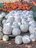 Orange och vita pumpor är klara för skörd i Michigan USA fotografering för bildbyråer
