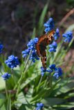 Orange one butterfly Aglais urticae in sunny day. On bright blue flower background stock photography
