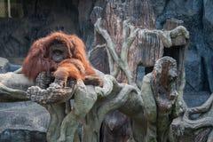 Orange Orang-Utan, der auf dem Stein liegt Stockfotos