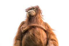 Orange Orang-Utan oder Pongo pygmaeus lokalisiert auf Weiß Lizenzfreie Stockbilder