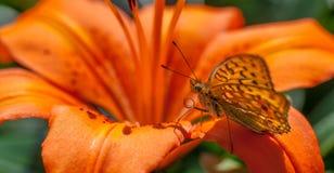 Orange on orange. Orange butterfly on an orange flower stock photography