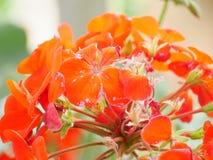 Orange. Flower in the garden Stock Image