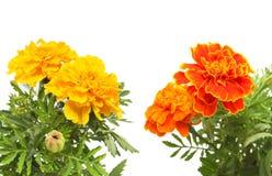 Orange and orange marigold Royalty Free Stock Photos