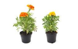 Orange and orange marigold Royalty Free Stock Photography