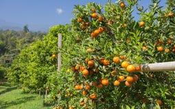 Orange on Orange tree Royalty Free Stock Image