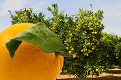 Orange and orange trees in background Stock Photos