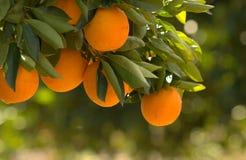 Orange, Orangenbaum der Niederlassung Stockfotos