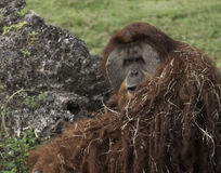 Orange Orangutan Royalty Free Stock Photography