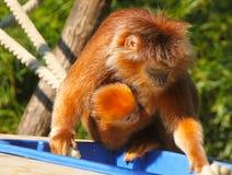 Orange orangutan family in Berlin zoo Stock Images