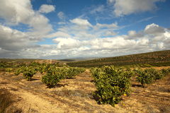 Orange Orchard. View of orange orchard during fruiting season royalty free stock photo