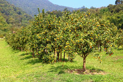 Orange orchard. Ranch in northern Thailand Royalty Free Stock Photography