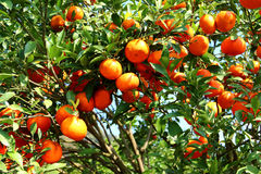 Orange orchard Royalty Free Stock Photography