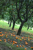 Orange orchard. View from inside of an orange grove, between orange trees rows with a lot of oranges spread on the ground surface Royalty Free Stock Photos