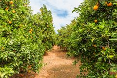 Orange Orchard in Alzira Spain. Orange Orchard in Alzira, Valencia Provence, Eastern Spain stock photography