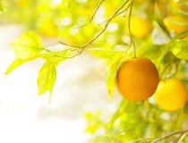Orange orchard. Stock Photography