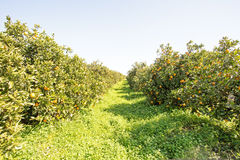 Orange orchard in the countryside from Portugal Stock Images