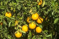 Orange orchard. On a farm in Araraquara Royalty Free Stock Image