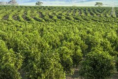 Orange orchard. On a farm in Araraquara Stock Photos