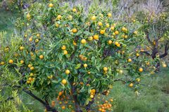 Orange orchard with fruits growing in Biniaraix Village near Soller. Soller Valley, Majorca. Spain Royalty Free Stock Photography