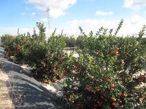 Orange Orchard Grove. Orange Orchard or Grove in Murcia and Alicante area of Spain stock image