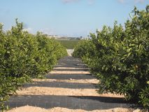 Orange Orchard Grove. Orange Orchard or Grove in Murcia and Alicante area of Spain stock photography