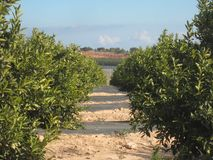 Orange Orchard Grove. Orange Orchard or Grove in Murcia and Alicante area of Spain stock photos