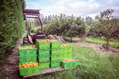 Orange orchard in Kerikeri, Northland, New Zealand NZ - harvest. Of citrus fruit in plastic crates on pallet of vintage antique tracto royalty free stock photos